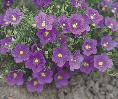 HEAT LOVING DENSELY COVERED Purple Robe ANNUAL Seeds