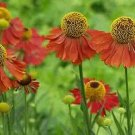 2557 - HELENS FLOWER Fabulous colors ... Perennial SEEDS