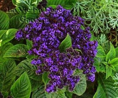 Heliotrope EXOTIC INDOORS OR OUTDOORS Marine Seeds ANNUAL