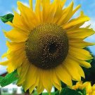 HUGE 'Early Russian' SUNFLOWER Annual SEEDS