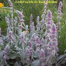 0058 - LAMBS EARS Great Contrast in Garden... Perennial SEEDS