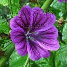 MALVA Mauritiana seeds Absolutely STUNNING Re-Seeds