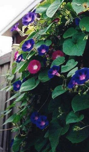 MORNING GLORY Rise-And-Shine MIX Seeds Vine Stunning