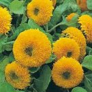 MULTI-PETALED Bright Sunflower TEDDY BEAR Seeds ANNUAL
