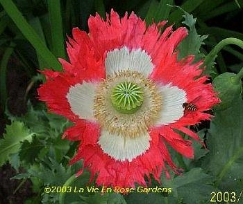 Papaver DANISH FLAG Poppy ANNUAL SEEDS