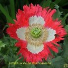 Papaver DANISH FLAG Poppy ANNUAL SEEDS