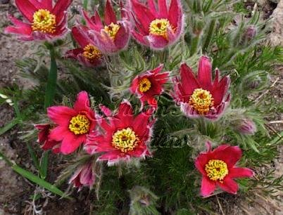 PASQUE Flower Seeds SPECTACULAR Spring Show PERENNIAL