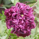 PEONY Antique Black POPPY Papaver SEEDS Annual
