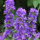 Perennial CLUSTERED BELLFLOWER Marine Seeds