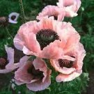 1619 - POPPY Coral Reef Perennial Papaver SEEDS Exquisite
