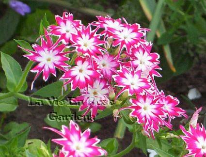 Prolific Flowering Favorite PHLOX Twinkle Star Seeds ANNUAL