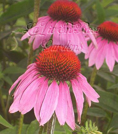 1986 - PURPLE CONEFLOWER Tall Beautiful PERENNIAL seeds