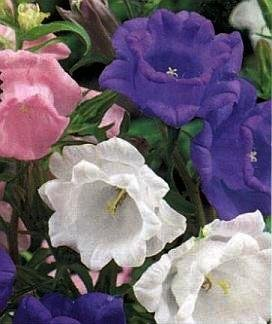 SPECIAL - QUAINT AND ADORABLE Cup and Saucer Campanula Seeds BIENNIAL