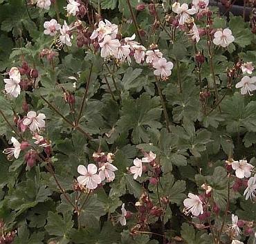 RARE VARIETY Hardy Geranium INGWERSEN'S Perennial Seeds