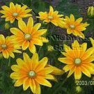 Rudbeckia PRAIRIE SUN with green eyes ... ANNUAL seeds