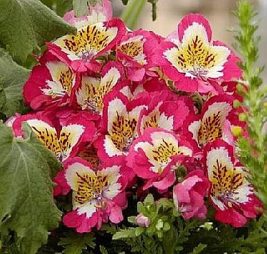 Schizanthus POOR MAN'S ORCHID Annual SEEDS