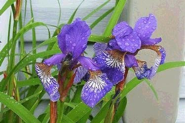 SIBERIAN IRIS Seeds Wonderful flower and foliage PERENNIAL