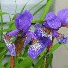 SIBERIAN IRIS Seeds Wonderful flower and foliage PERENNIAL