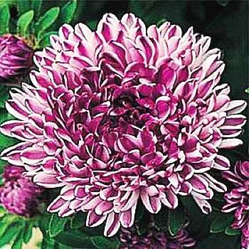 SPECTACULAR Aster BLUE RIBBON Annual SEEDS