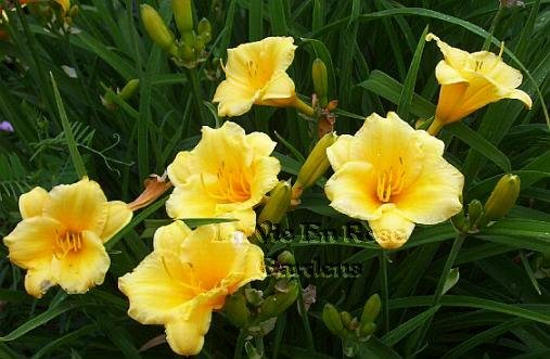 0062 - STELLA D'ORO Day Lily REBLOOMER Perennial SEEDS