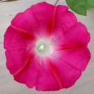 "Stunning MORNING GLORY ""Scarlet O'Hara"" Vine SEEDS"