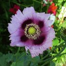 STUNNING Papaver PURPLE JESTER Poppy Seeds ANNUAL