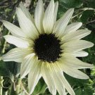 Sunflower  Seeds ITALIAN WHITE Annual AMAZING FOR CUT FLOWERS