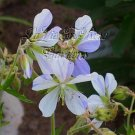 1627 - UNUSUAL PERENNIAL Geranium Splish Splash seeds