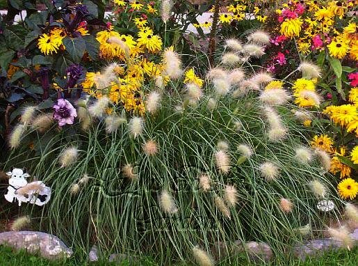 WHITE FOXTAIL Ornamental Grass STUNNING Annual SEEDS