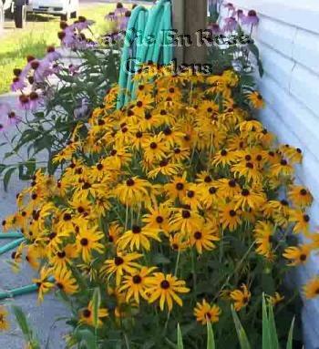 0020 - WONDERFUL EYE-CATCHER Rudbeckia Goldstrum Seeds PERENNIAL