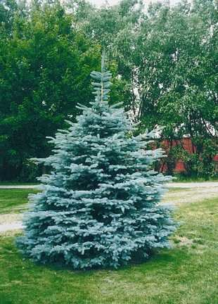 PRIZED VARIETY Colorado Blue Spruce TREE seeds