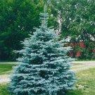 PRIZED VARIETY Colorado Blue Spruce TREE seeds