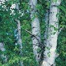 LEGENDARY White Birch Tree SEEDS Betula Papyrifera
