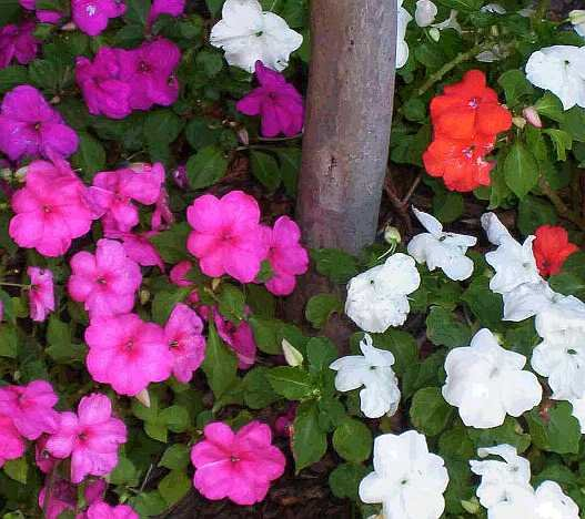 DEPENDABLE & POPULAR Impatiens MIXED Seeds ANNUAL