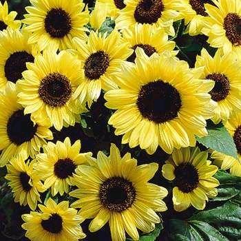 Fabulous Sunflower 'Valentine' ANUUAL Seeds