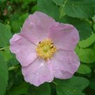 MARITIME Dwarf St. Martins Rose Rosa PERENNIAL seeds