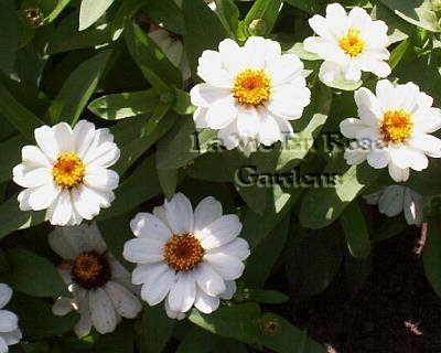 DWARF Profusion Series ZINNIA White Seeds ANNUAL
