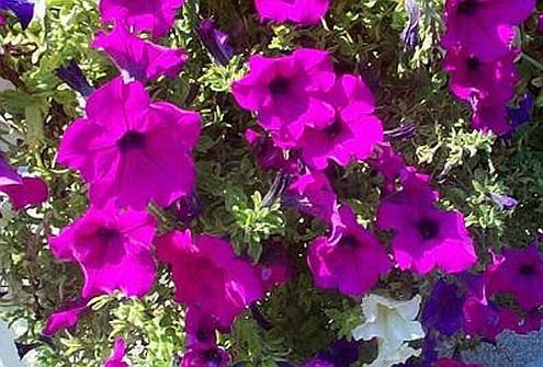 PETUNIA 'Fuschia' EYE-CATCHER Annual Seeds