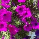 PETUNIA 'Fuschia' EYE-CATCHER Annual Seeds