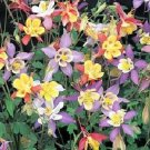 Small Bloomed COLUMBINE Mrs. Scott Elliot's PERENNIAL