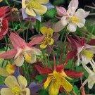 MCKANA'S GIANTS Gorgeous PERENNIAL Columbine Seeds