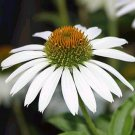 RELIABLE White Coneflower 'White Swan' PERENNIAL