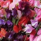 SOFT COLORS ON DWARF VINE Sweet Pea KNEE HI Seeds
