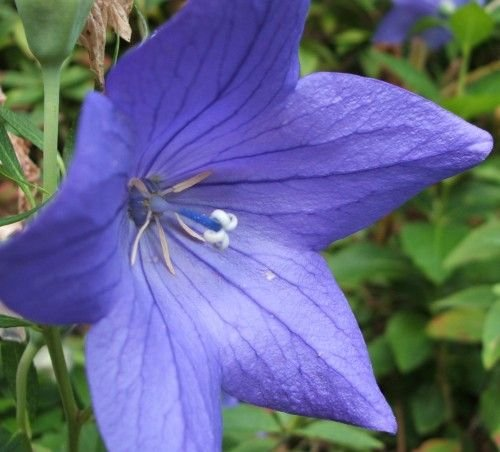 AMAZING Balloon Flower 'BLUE'Platycodon PERENNIAL Seeds