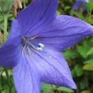 AMAZING Balloon Flower 'BLUE'Platycodon PERENNIAL Seeds