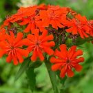 HISTORIC PERENNIAL Maltese Cross EASY FROM SEED