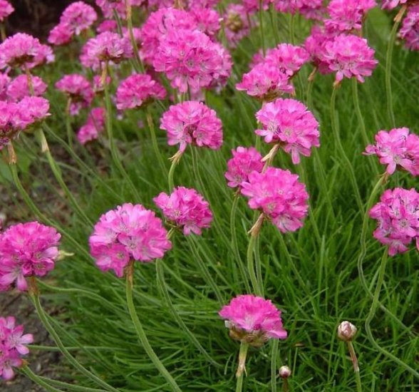 BLOOMS THE FIRST YEAR Armeria Joystick MIX Perennial