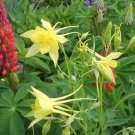 STUNNING Columbine GRANNY'S YELLOW BONNET Perennial