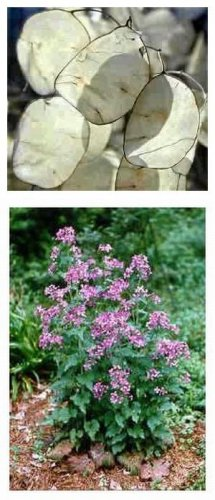 BIENNIALGrow a Money Plant in your Garden!SEEDS Lunaria