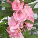 BEAUTIFUL Annual BALSAM Princess Sarah SEEDS
